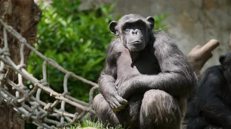 chlupatý : Portrait of a chimpanzee
