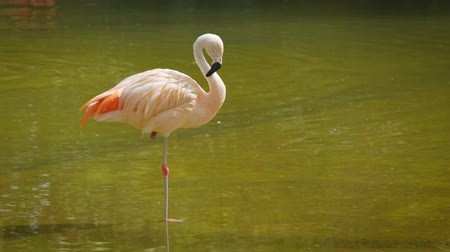 flamingi : American and Chilean Flamingos Wideo