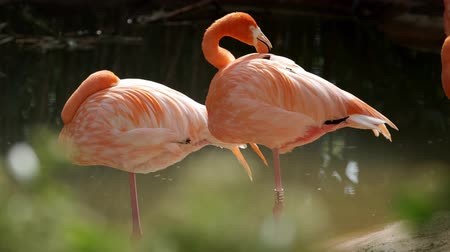 boyun : American and Chilean Flamingos Stok Video