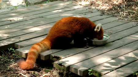 endangered species : Red panda (lesser panda)