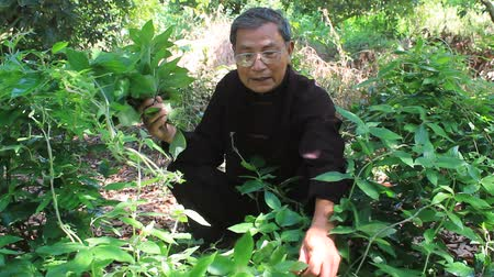 herbalist : HAI DUONG, VIETNAM, AUGUST, 26: the medicine man picking medicinal herbs on the mountain on August, 26, 2014 in Hai Duong, Vietnam. Stock Footage