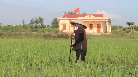 sapa people : HAI DUONG, VIETNAM, AUGUST, 25: peasant woman cutting rice in the field on August, 25, 2014 in Hai Duong, Vietnam. Rice is the main income in rural vieetnam, about 800 USD