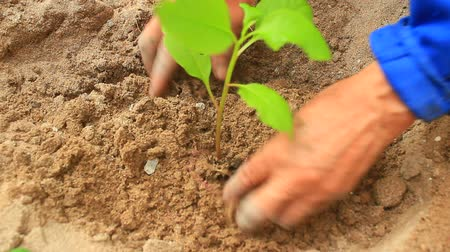 tohum : ginseng tree planting in garden Stok Video
