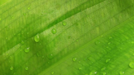 gota de orvalho : dew on leaves Stock Footage