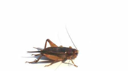 kriket : Crickets on a white background Stok Video