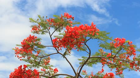 angiospermas : Poinciana trees and sky
