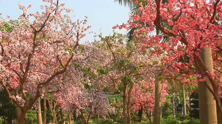 cereja : cherry blossoms in spring garden Stock Footage