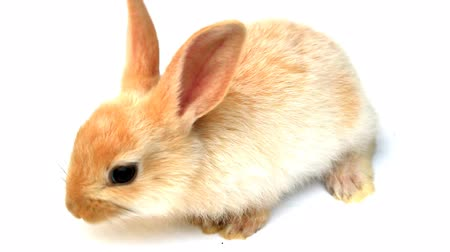 umma : Small rabbit hopping around on a white background Stok Video