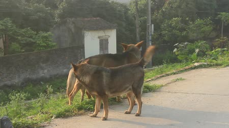 mamífero : dog mating