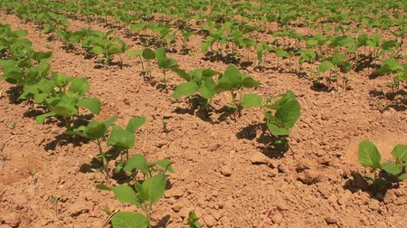 minas gerais : peanut field in the wind