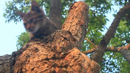 gato selvagem : cat climbs trees