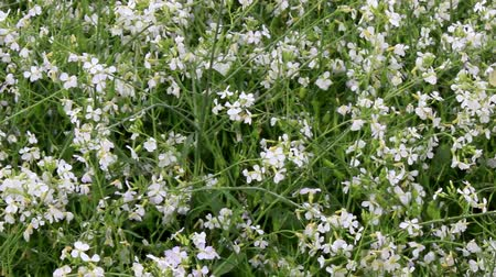 кинза : white flowers in the vegetable garden