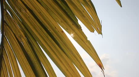 coconut palm tree : sun shining through palm leaf Stock Footage