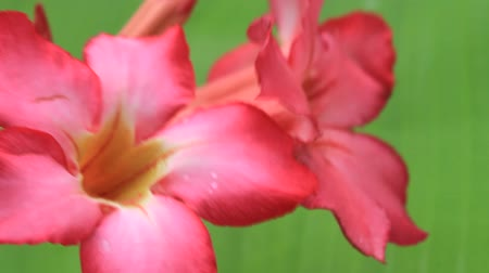 blooms : pink flower on green background Stock Footage