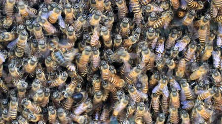 колония : Honey bees at entrance of beehive Стоковые видеозаписи