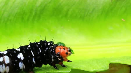 hernyó : black caterpillar on leaf