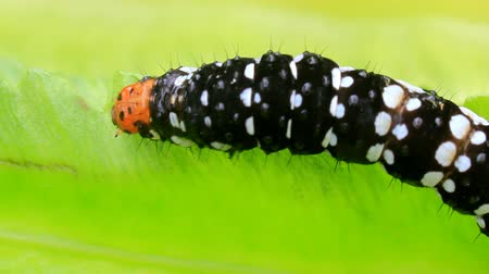 orange background : black caterpillar on leaf