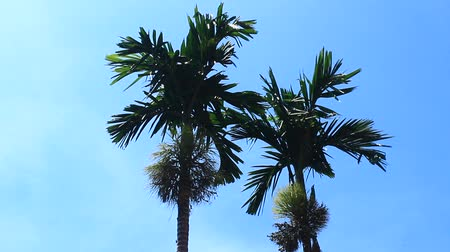betel : Areca trees and sky Stock Footage