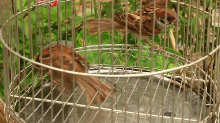 young sparrow : sparrows in cages