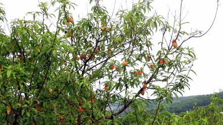 brzoskwinie : RIPE peach tree with fruits