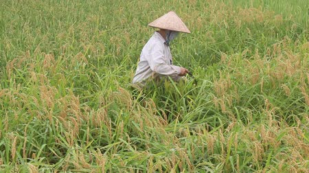 mianmar : harvest rice in rural Asia