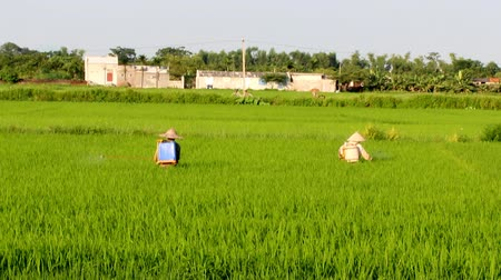 bitki : Farmers spraying pesticides in rice fields on 2, 2013 in Asia. Rice is the main income in rural, about 800 USD