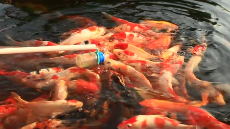 strawberry oil : feeding fish in lake