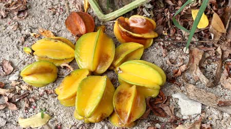 angiospermas : Star fruit rot on the ground Stock Footage