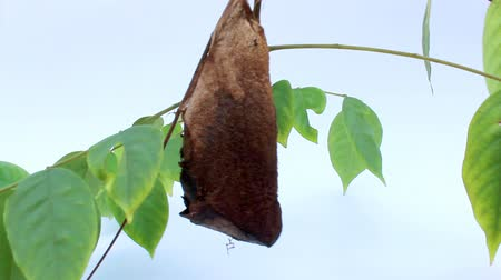 vida : Chrysalis Butterfly hanging on a leaf
