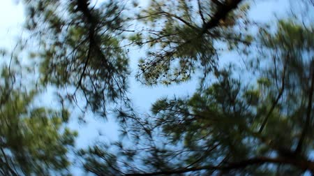 Pine trees and sky seen from the ground