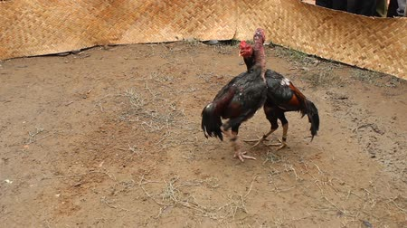 cock fights : Two chicks are fighting each other