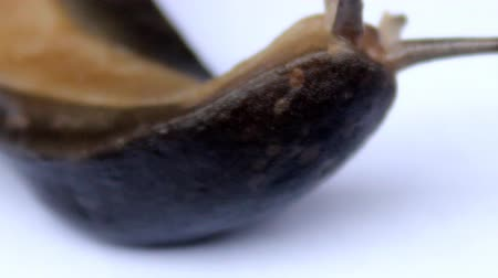 slithering : Brown Slug Stock Footage