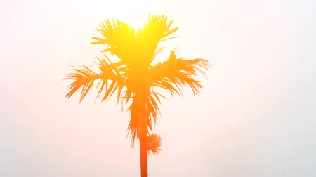 coconut palm tree : palm tree and sky Stock Footage