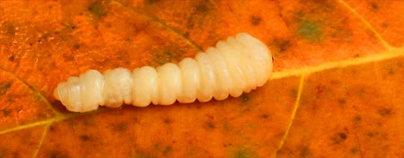 silkworm : worm on autumn leaves Stock Footage