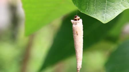chrysalis : worm in a cocoon