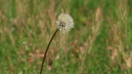 nasiona : A Dandelion with seeds, ready for dispersal with shallow depth of field.