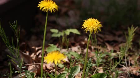 dmuchawiec : A Dandelion flowers, with shallow depth of field.