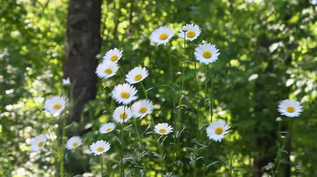 kamilla : White Daisies in Summer season