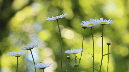 margarida : White Daisies in Summer season