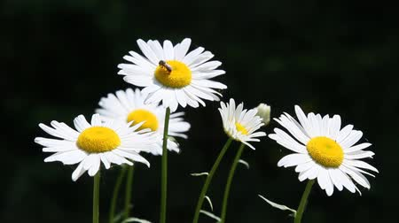 kamilla : White Daisies in Summer season with bees pollinating Stock mozgókép