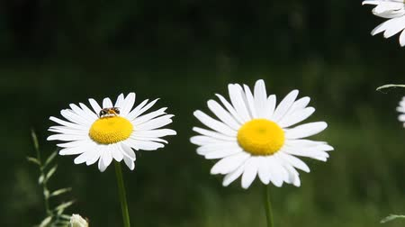 kamilla : Daisy flowers blooming in Spring season