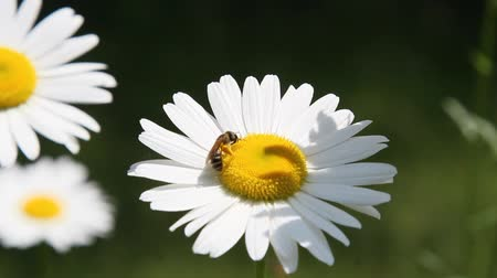 kamilla : White Daisies in Summer season wit bees pollinating
