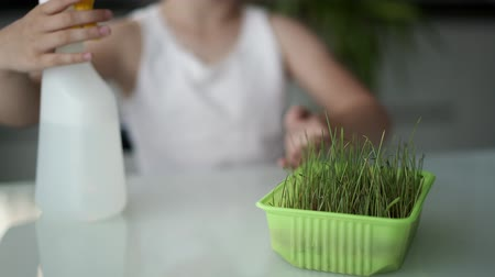 konewka : Unrecognizable little girl wearing a white dress is sprinkling grass growing in a pot standing on her table at home. Slider real time medium shot Wideo