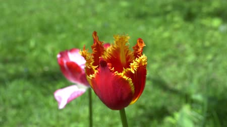 kertészeti : The red flower petal blooming so beautifuly in the garden on a sunny day