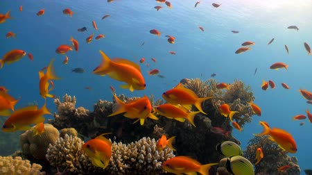 mar vermelho : red fish on coral reef, Red sea