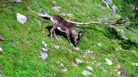 ren geyiği : Reindeer graze on the mountains, Norway Stok Video