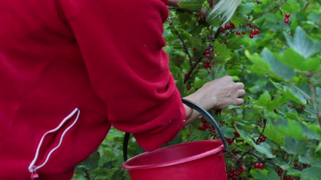 невозделанный : A woman collects red currants in a bucket, closeup