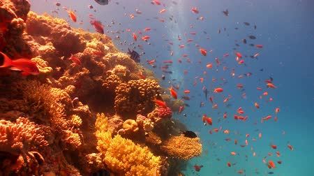 rafa : Colorful Fish on Vibrant Coral Reef, Red sea