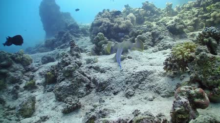 глубоко : Blue Spotted stingray swims on the coral reef, Red sea Стоковые видеозаписи