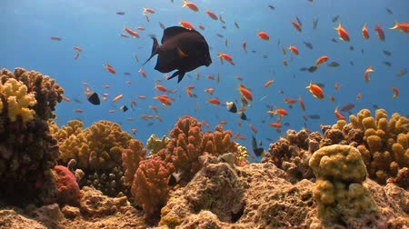 mar vermelho : Colorful Fish on Vibrant Coral Reef, static scene, Red sea